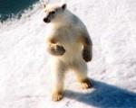 Store sjanser for å se Isbjørn når du reiser til Svalbard