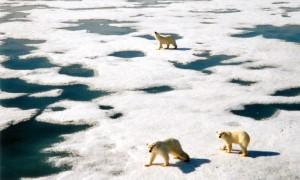 Isbjørner på Svalbard på sjøis.