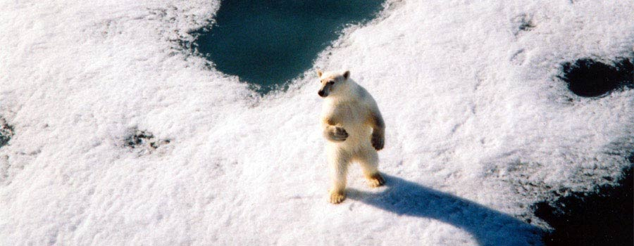 Isbjørn i Arktis og Svalbard er ikke et uvanlig syn. Her står isbjørn på fjordis.